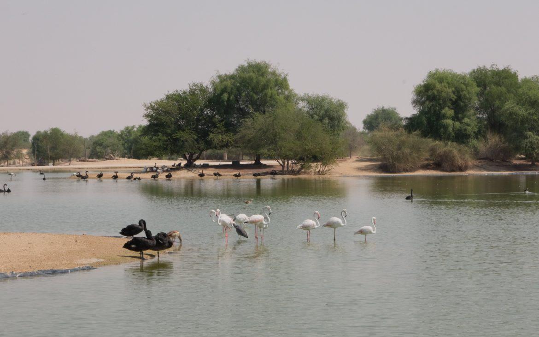 al qudra lake flamingos